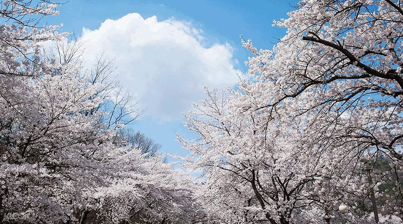 雞龍山賞櫻& 全州韓屋村& 摘草莓一日遊