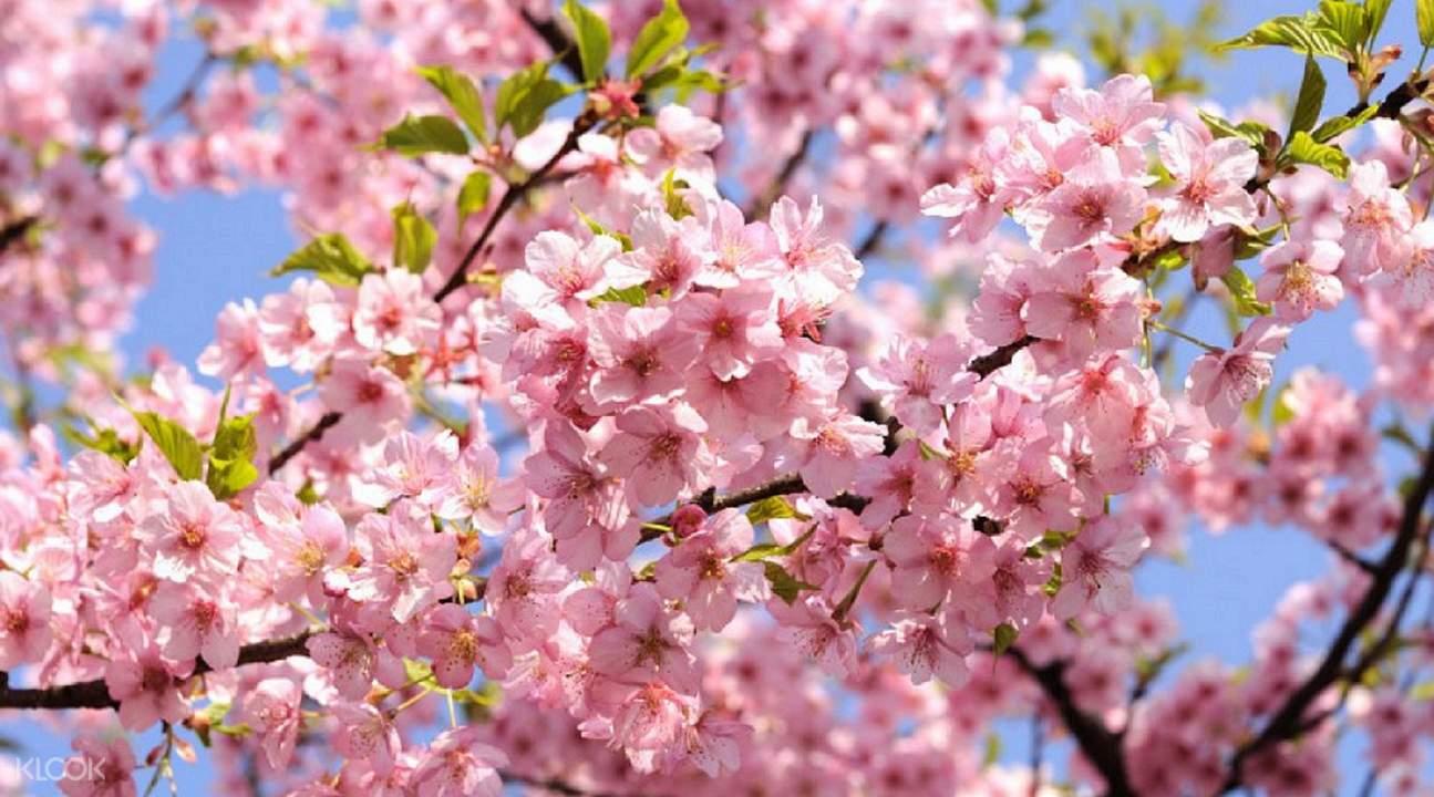 河津樱花祭+采草莓一日游