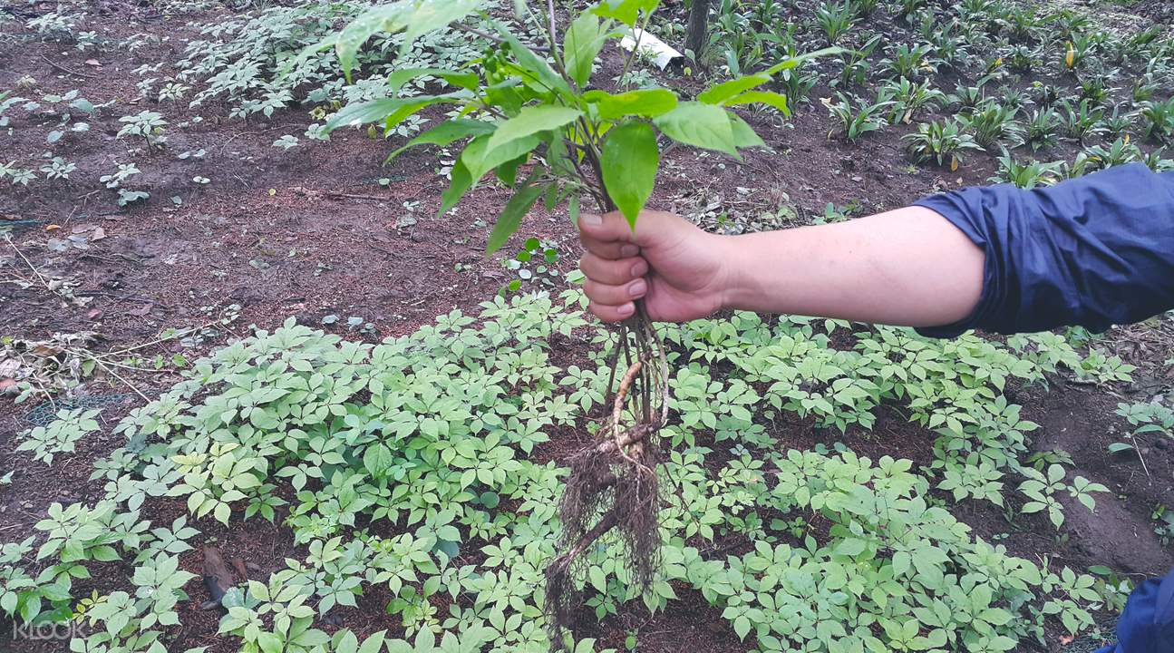 ginseng picking and herb garden tour