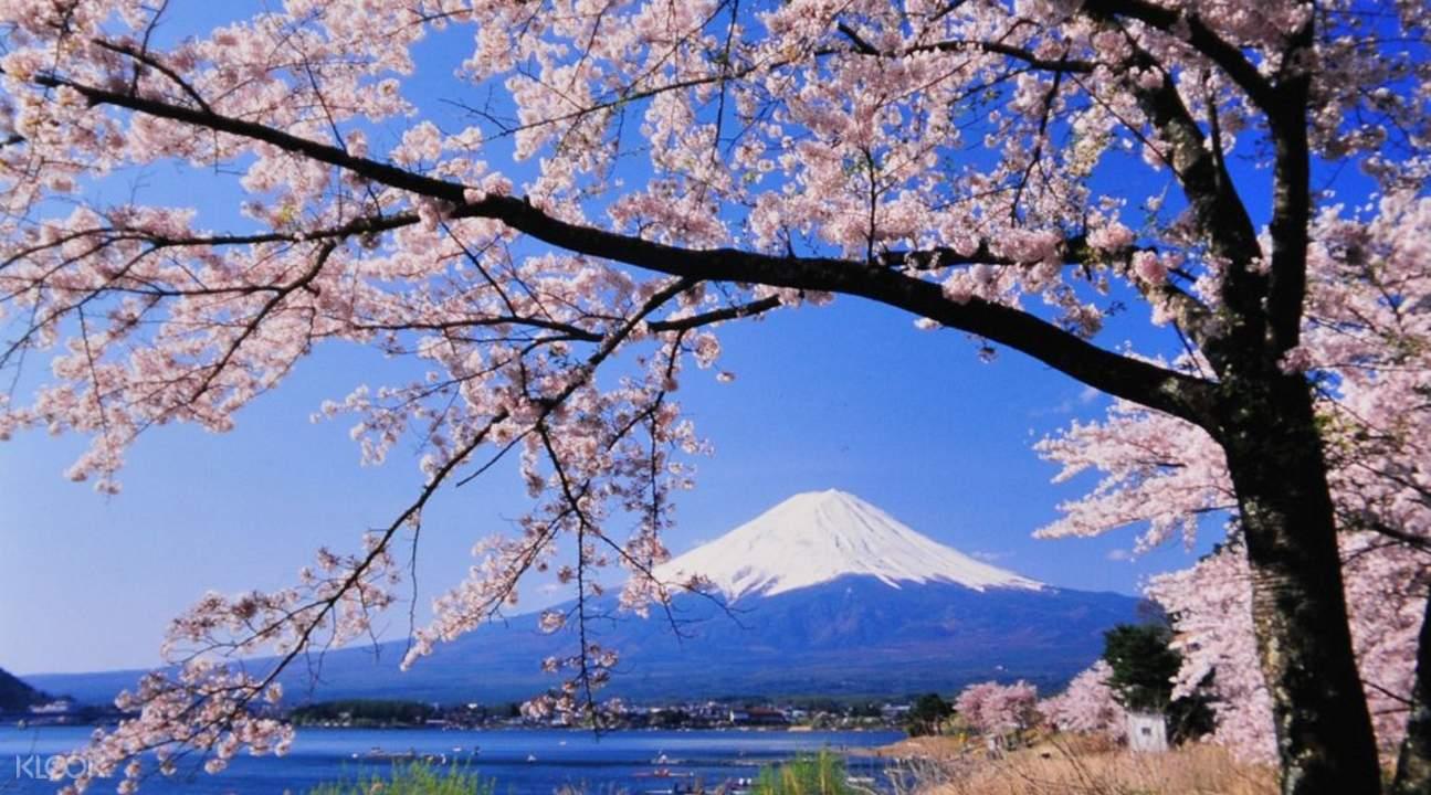 富士春日赏樱