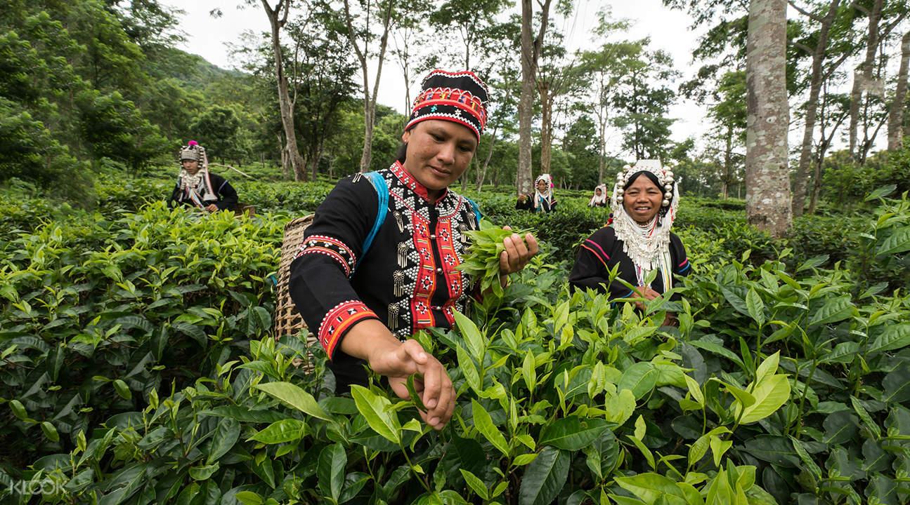 thai woman harvesting araksa tea garden