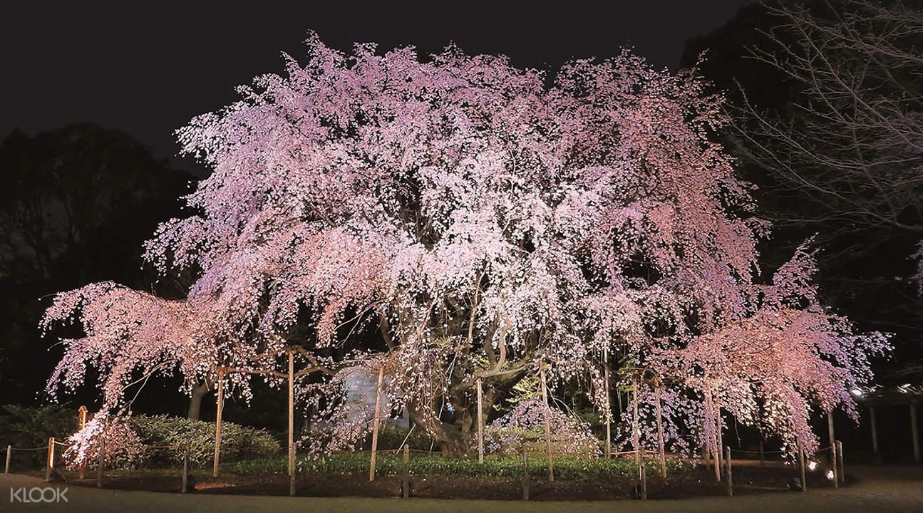 六义园夜樱