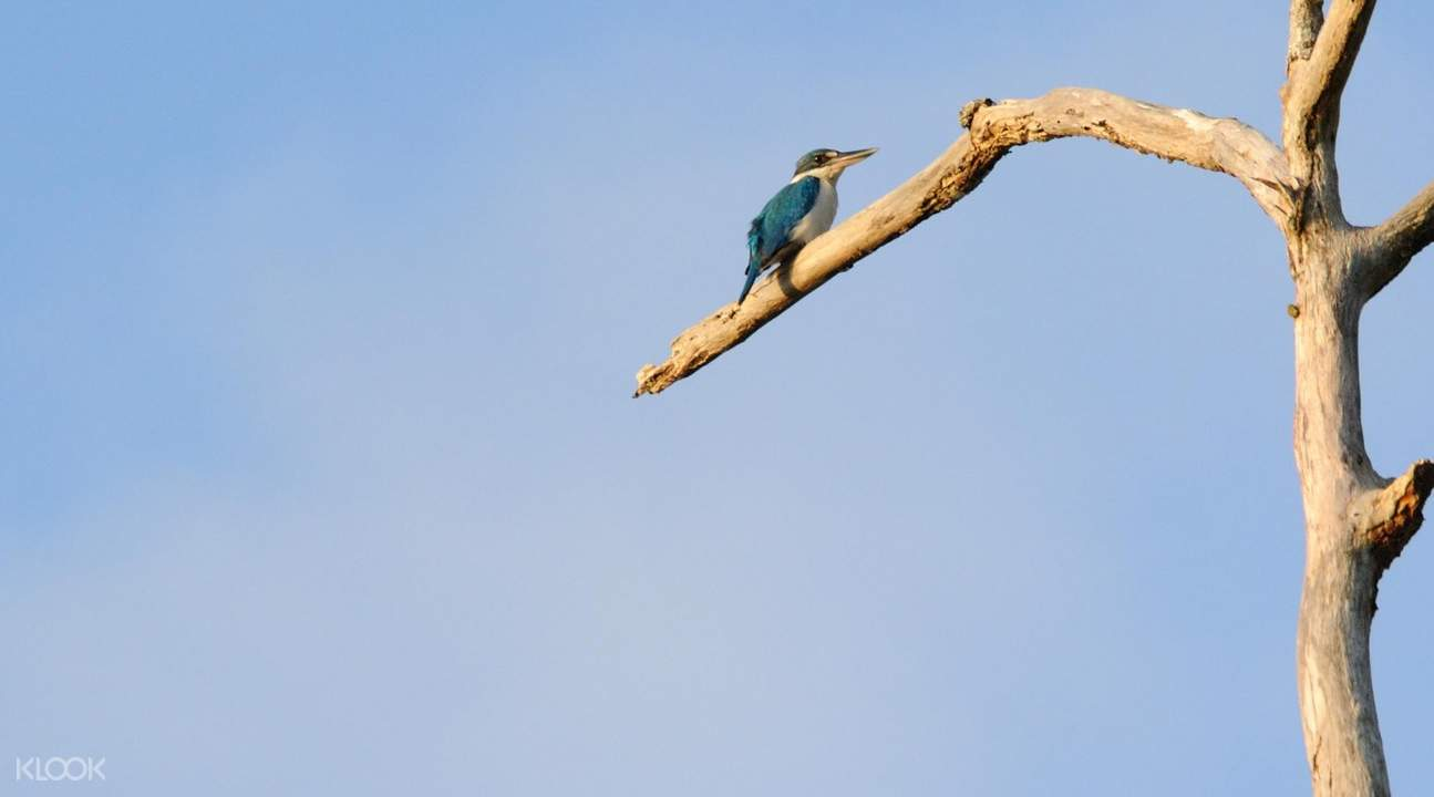 white collared kingfisher bako national park