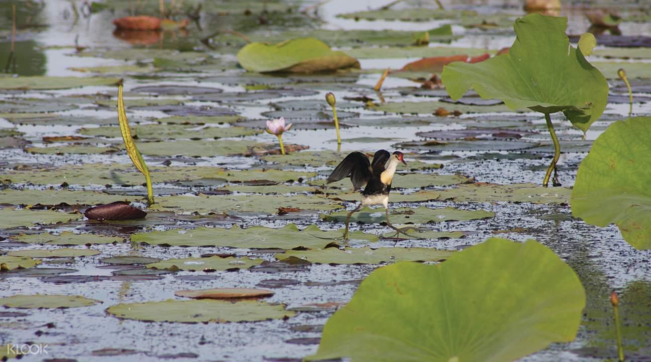 玛丽河湿地鸟类动物