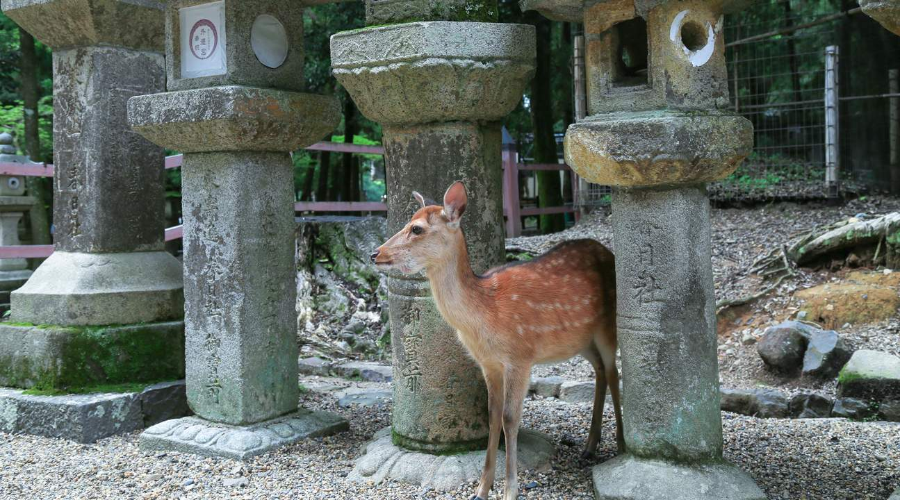 Deer in Nara