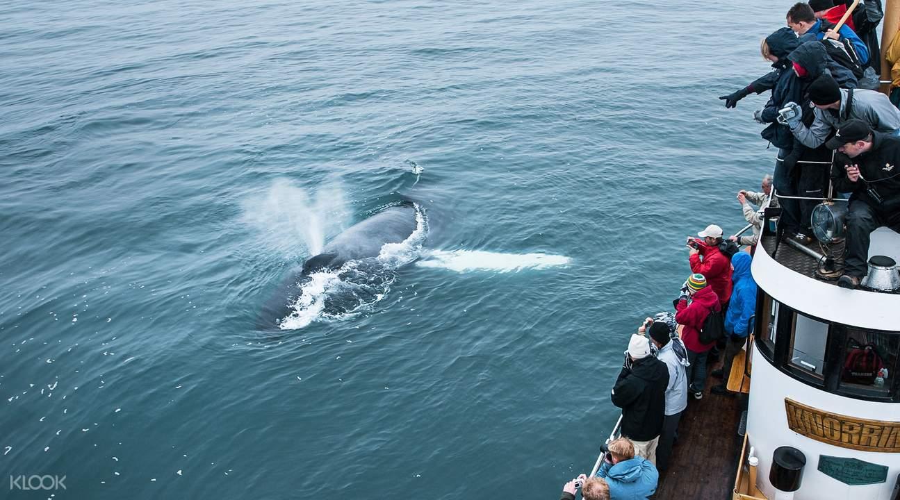 冰岛座头鲸