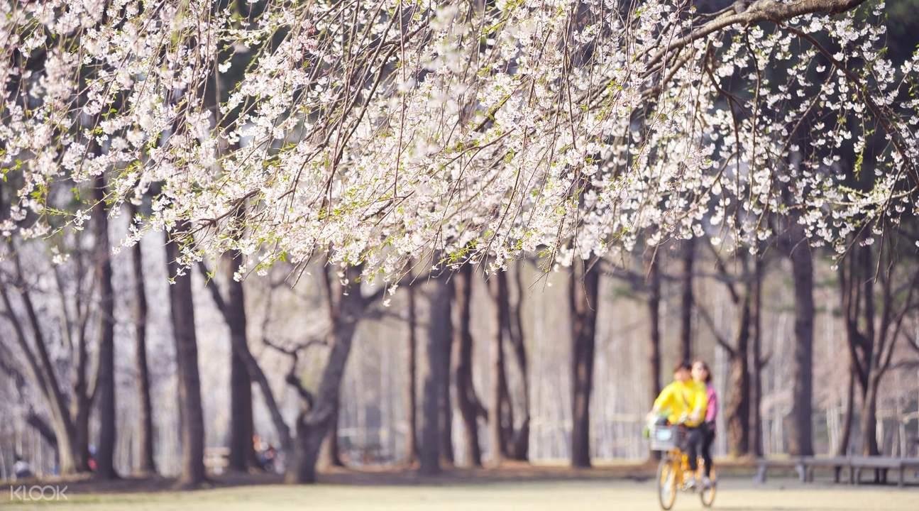 南怡島& 加平鐵路自行車& 小法國村& 晨靜樹木園一日遊
