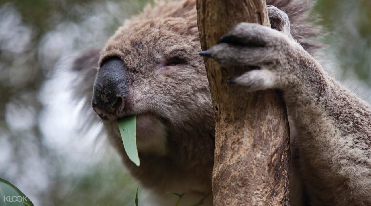 Koala at the Moonlit Sanctuary