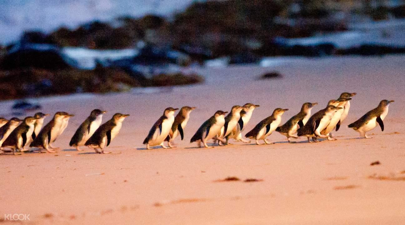 Penguin Parade on Phillip Island