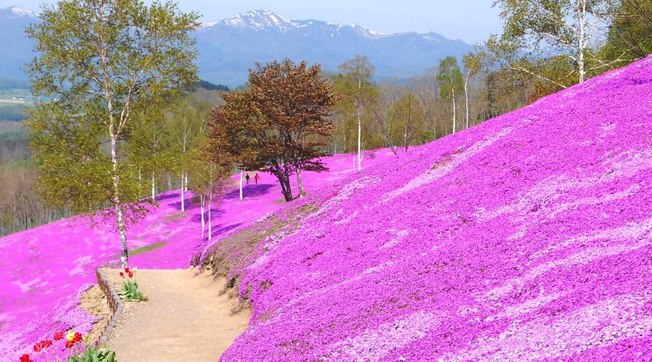 lavender field in hokkaido