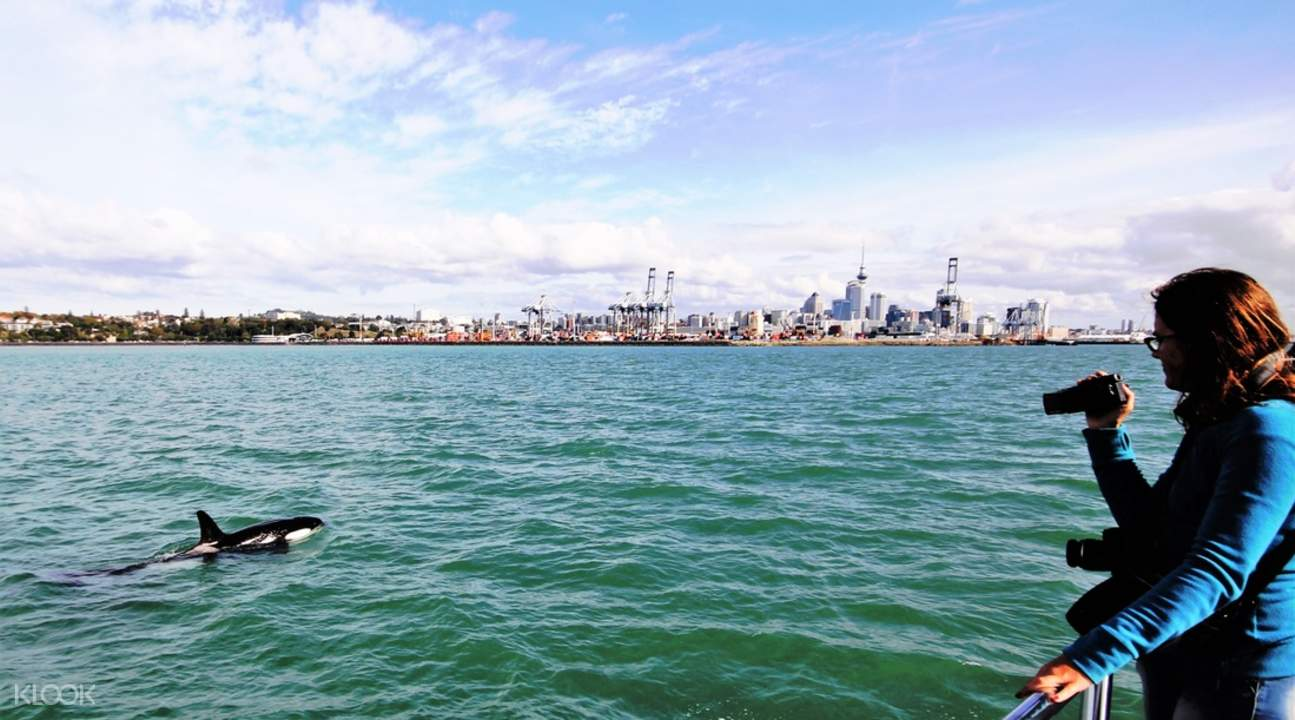 auckland dolphin watching