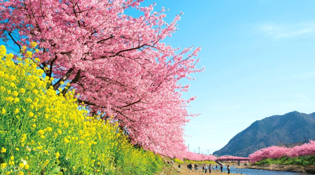 cherry blossoms kawazu river tokyo