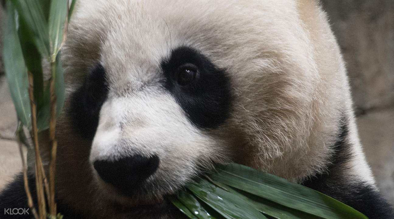 a close up of a panda bear's face; the panda bear is eating vegetables