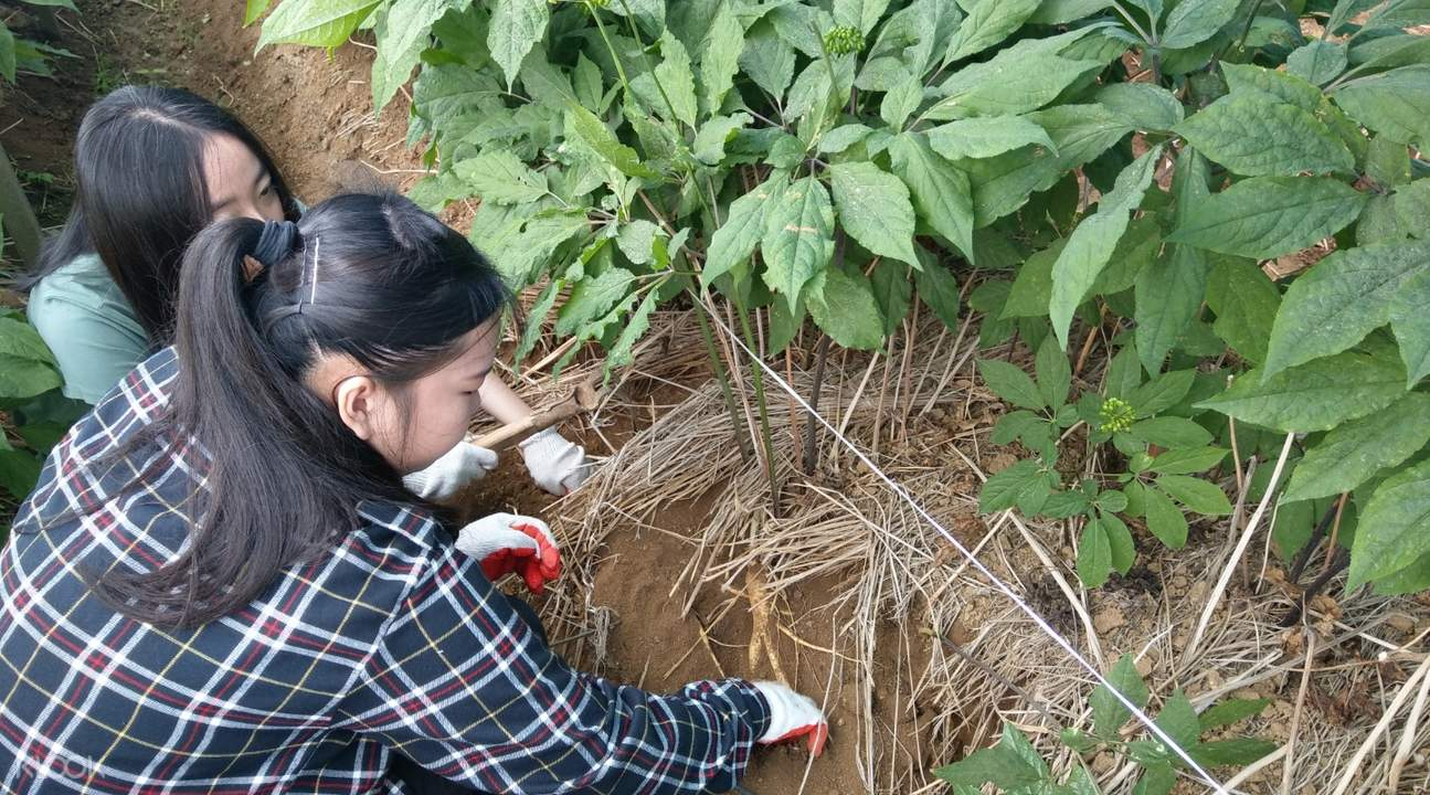 korean farmer to guide you through ginseng digging
