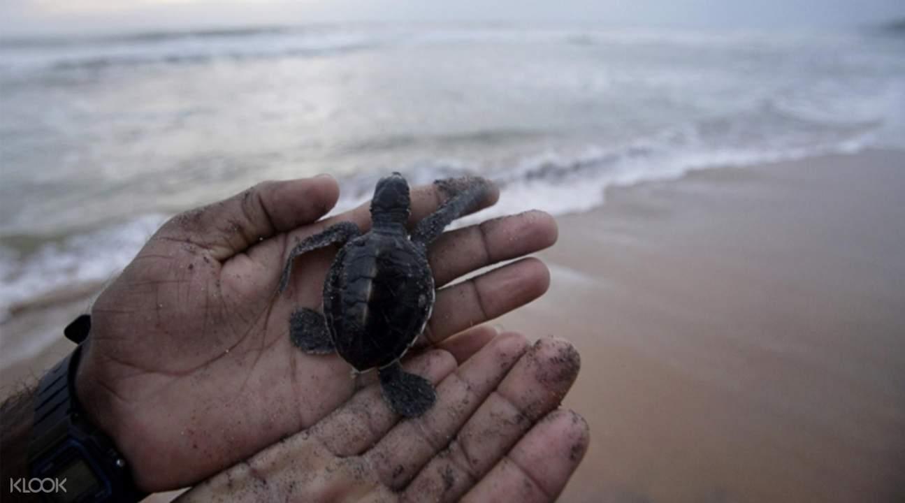 การอนุรักษ์เต่าทะเล Kosgoda