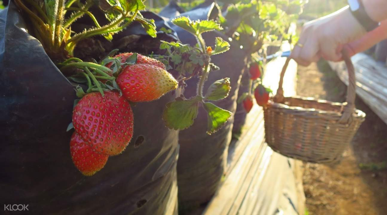 Strawberry Farm Bandung Indonesia