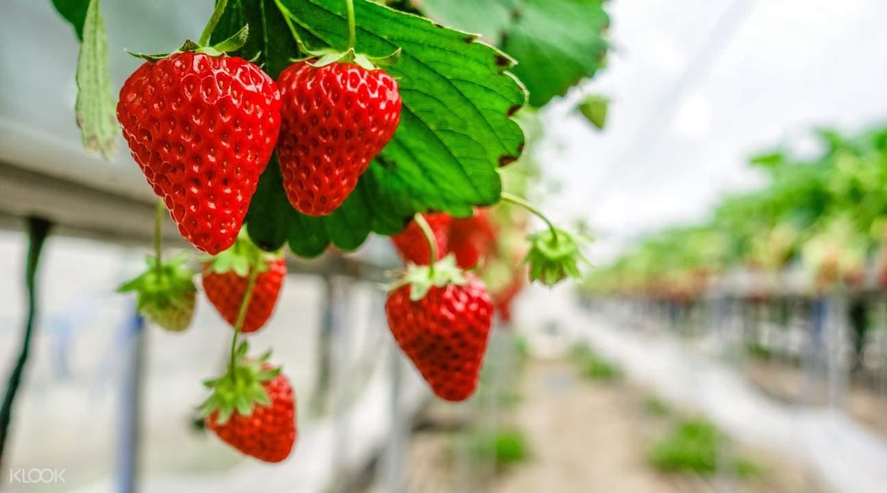 gunma strawberry picking