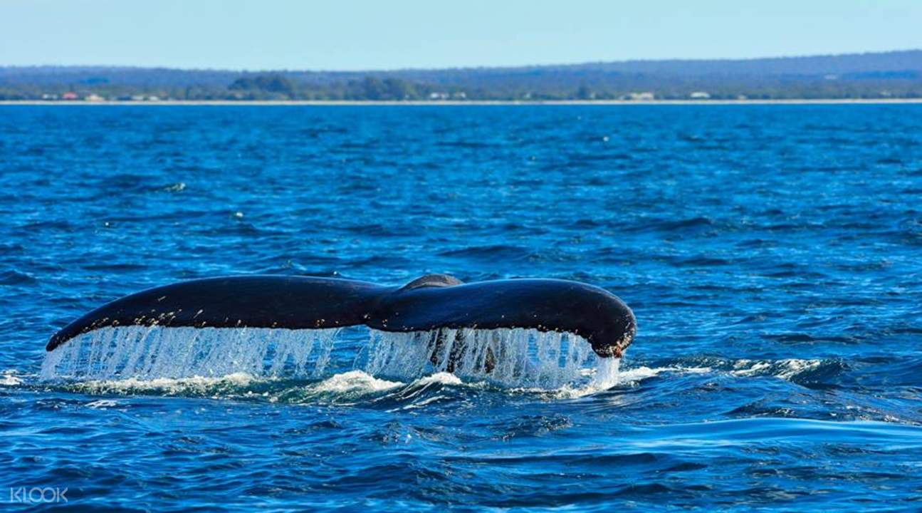 tail of whale emerging from underwater in australia