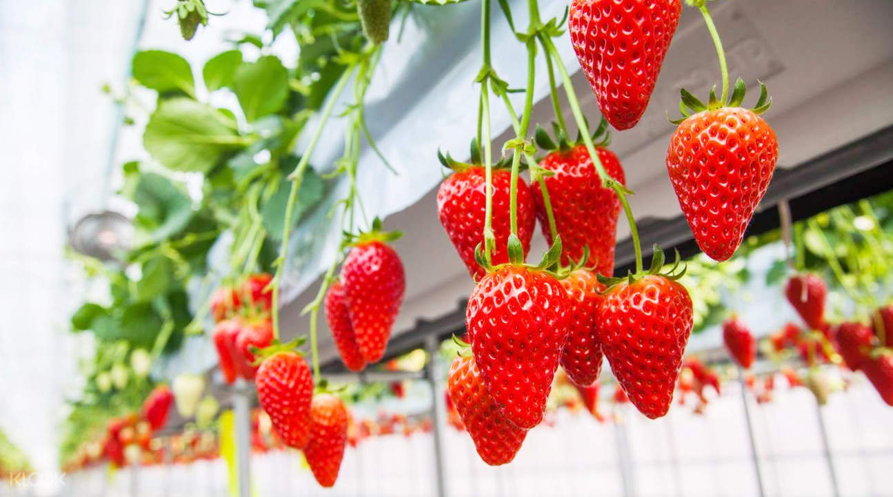 stems of strawberries