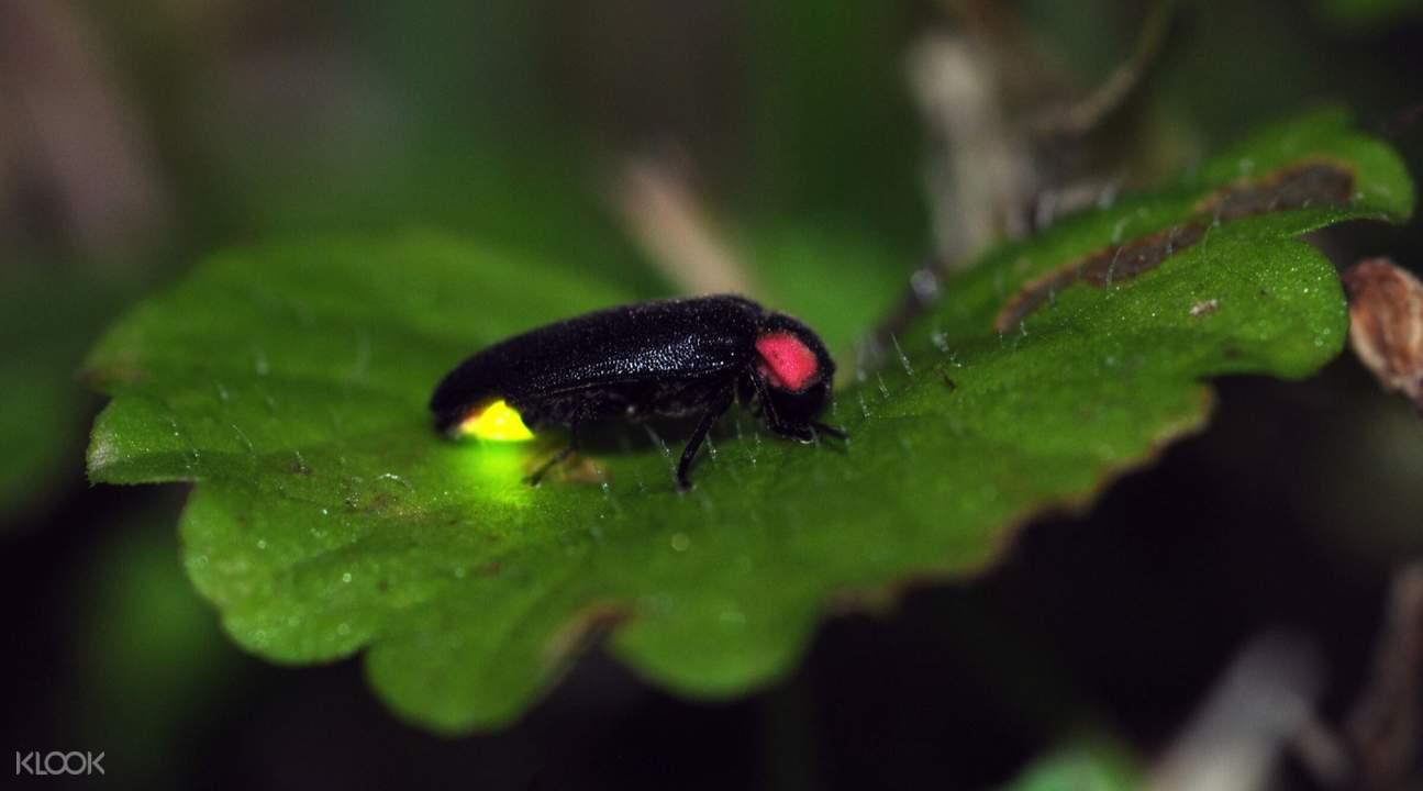 firefly at Kuala Selangor