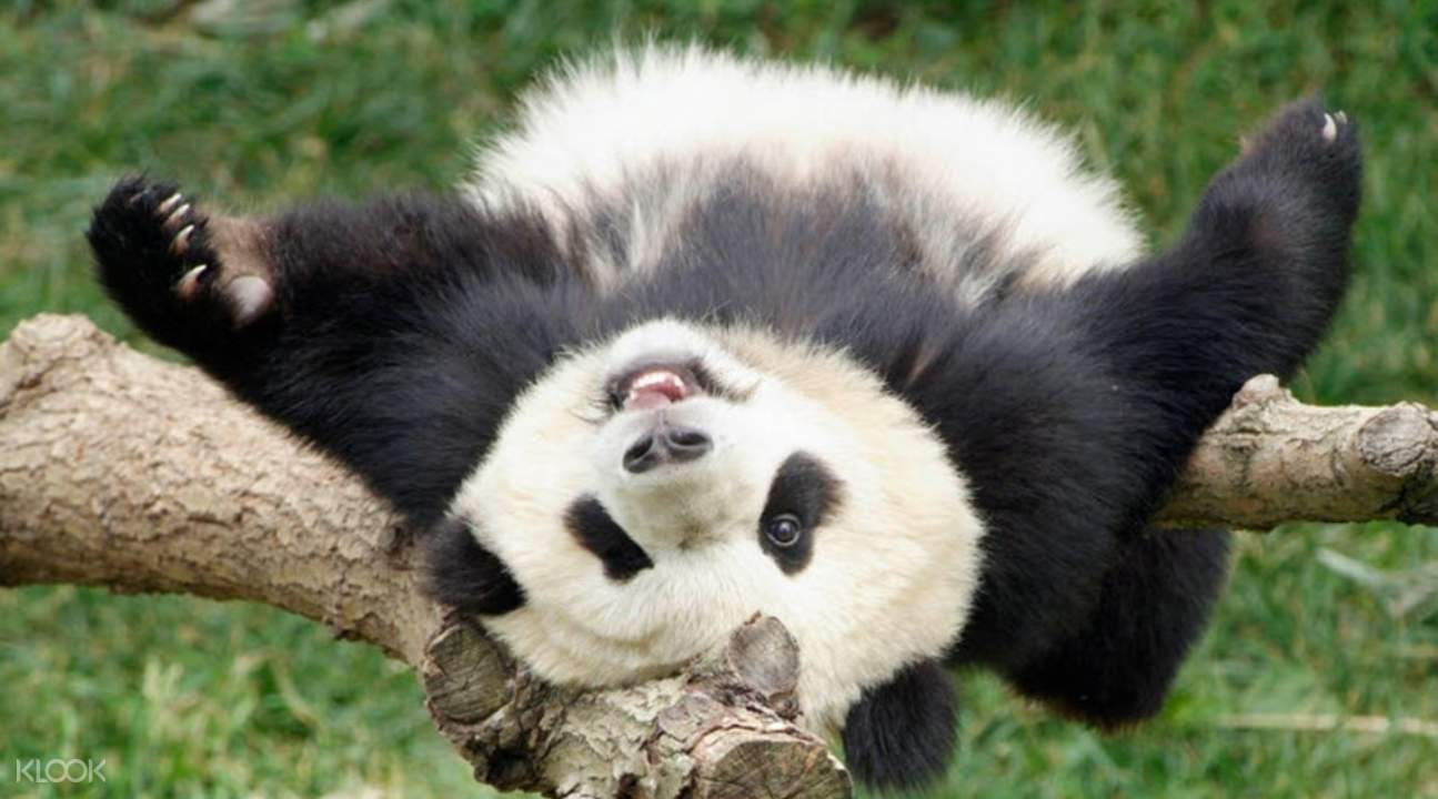 a panda bear lying down on a branch acting all goofy