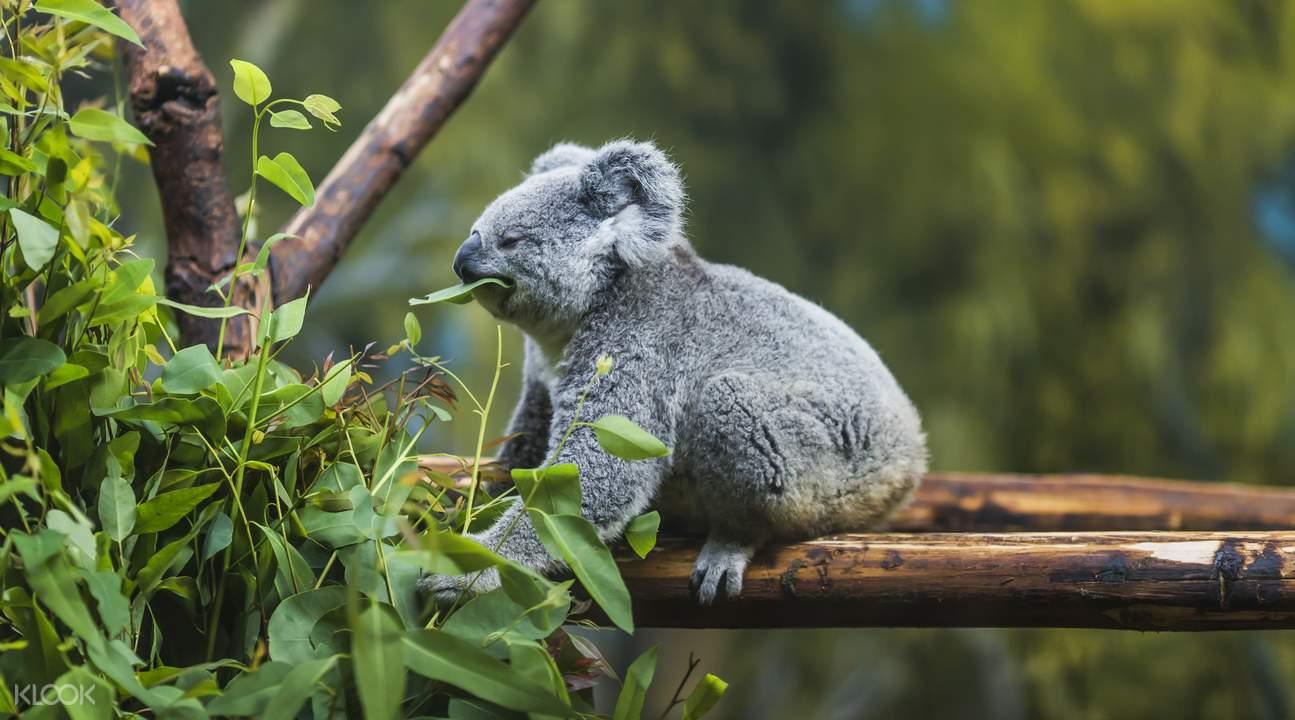 gold coast koala sanctuary