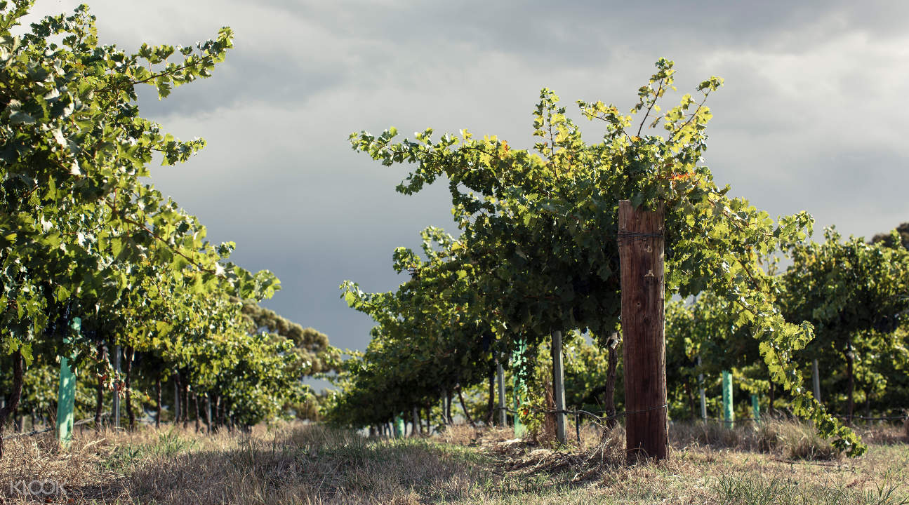 a vineyard in Barossa Valley