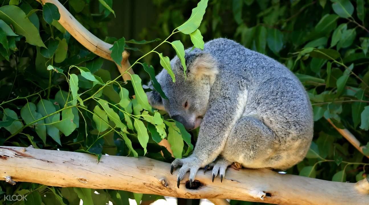 koala bear experience
