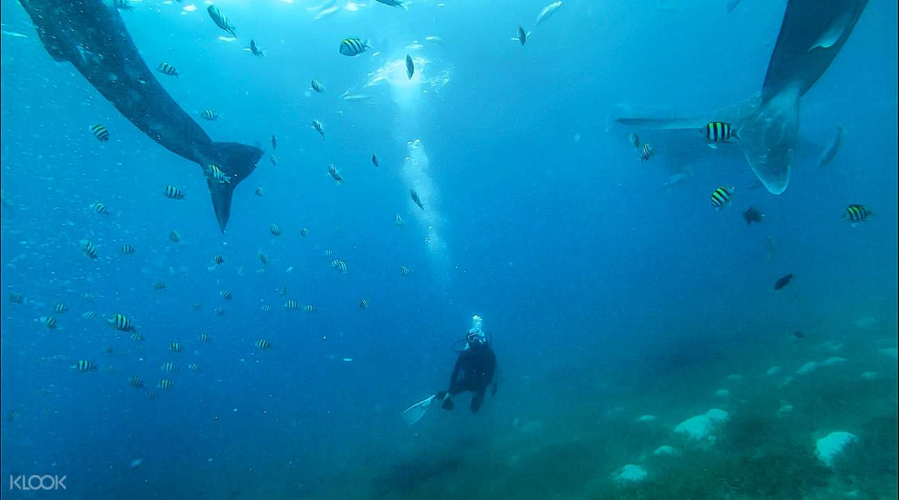 Oslob whale shark watching snorkeling