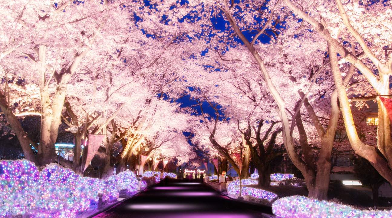 cherry blossoms in yomiuriland
