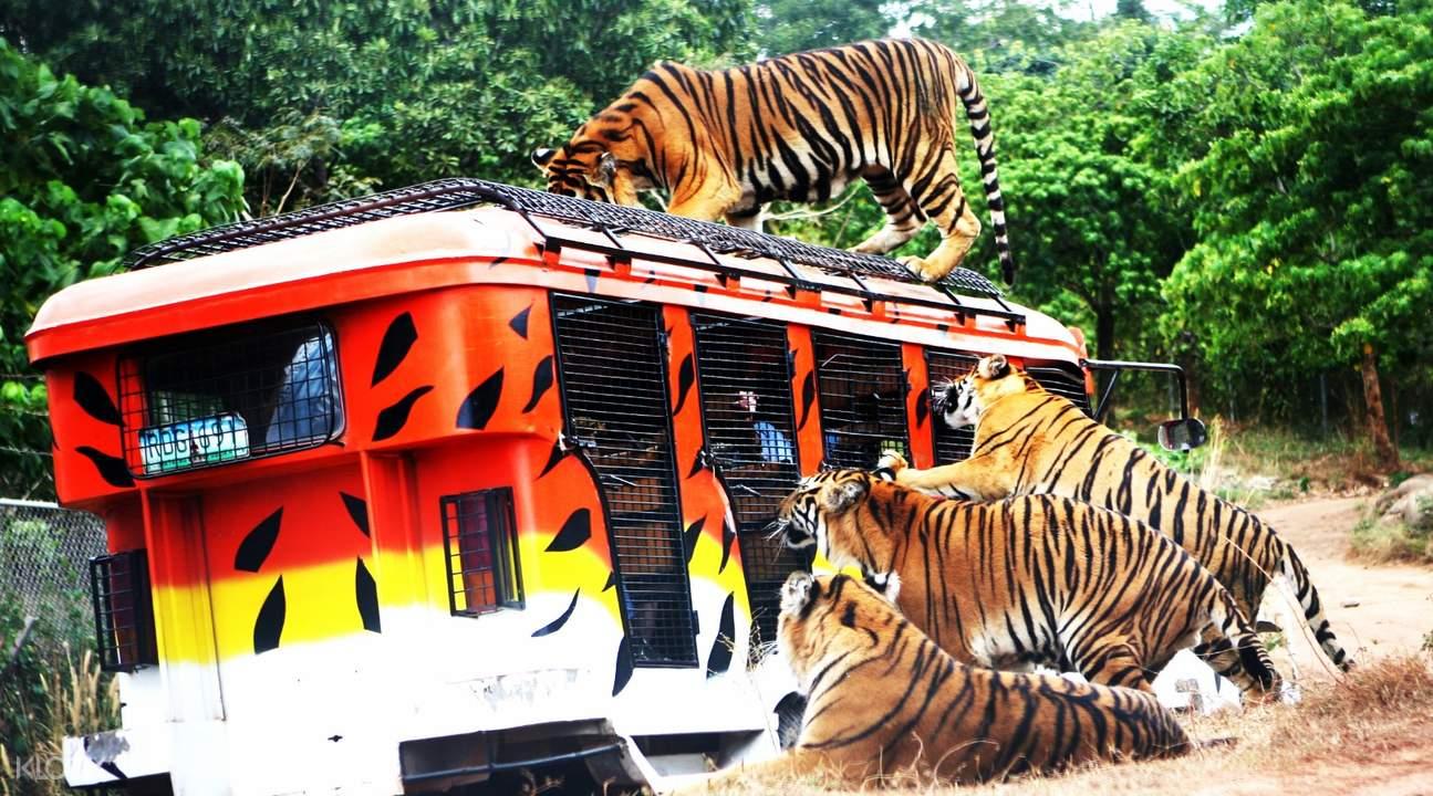 Tiger Safari at Zoobic Safari in Subic