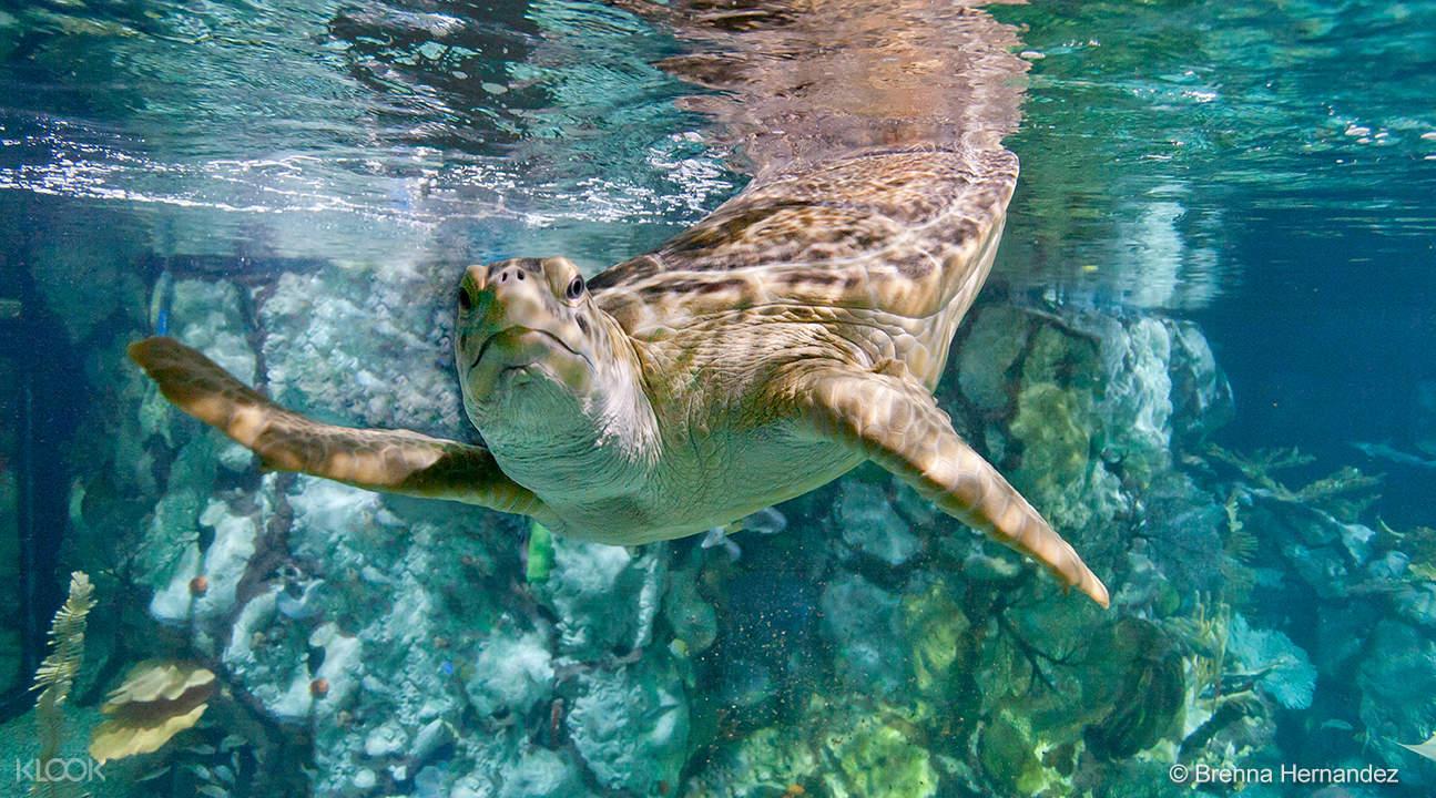 a turtle in the Shedd Aquarium