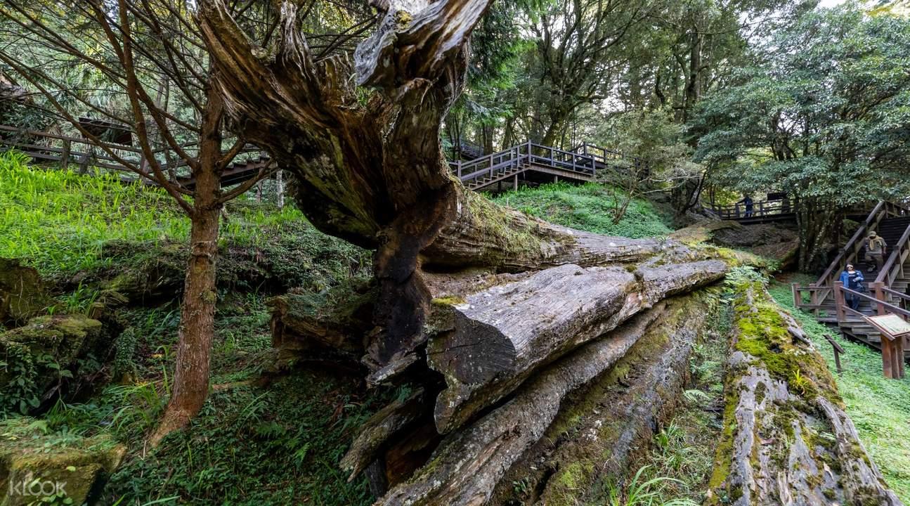 阿里山第三代樹