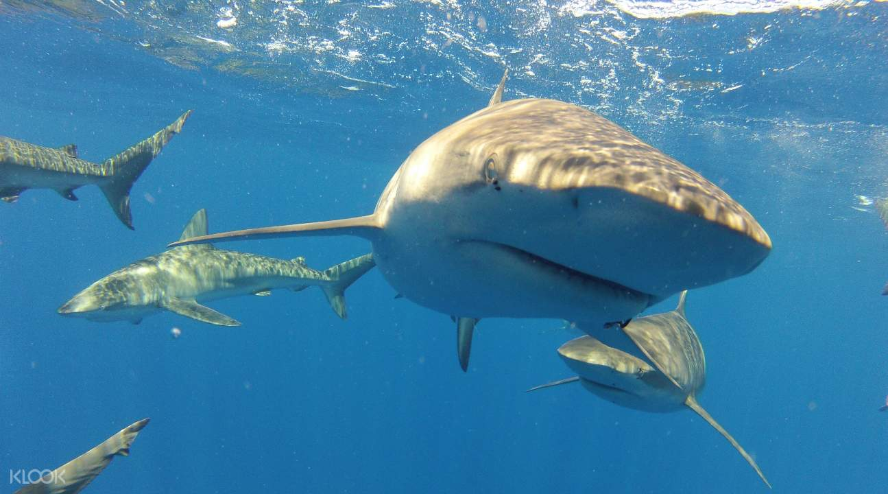 sharks in Oahu, Hawaii