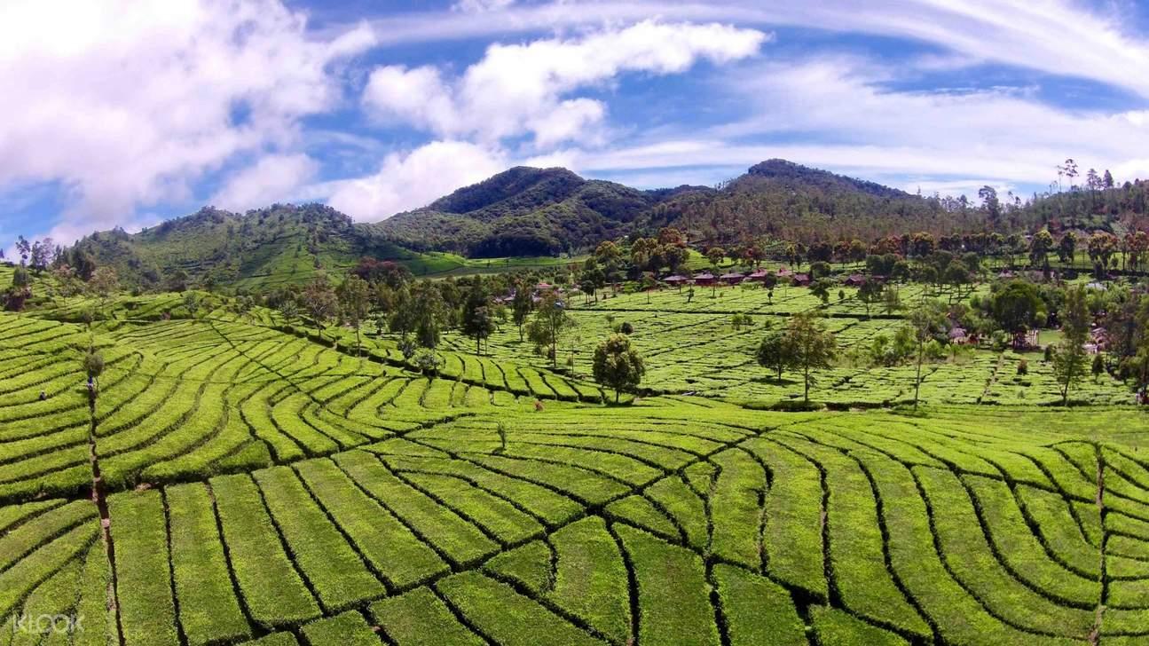 tea bushes in bandung