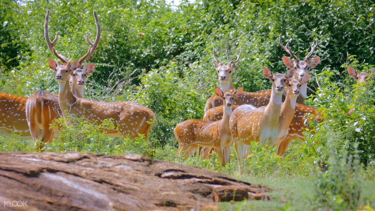 a group of spotted deers at yala national park