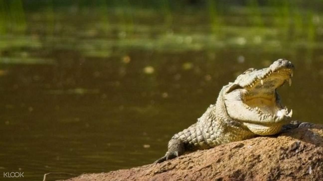 Crocodile and lake