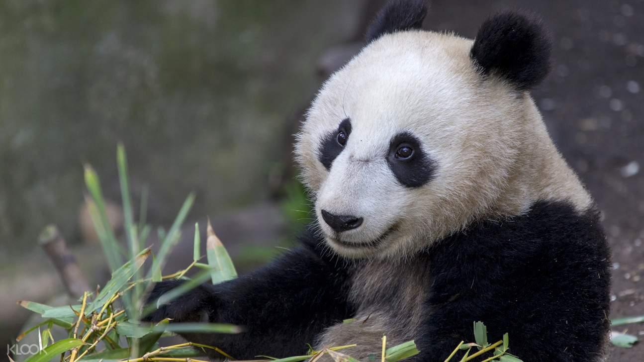 圣地亚哥动物园大熊猫