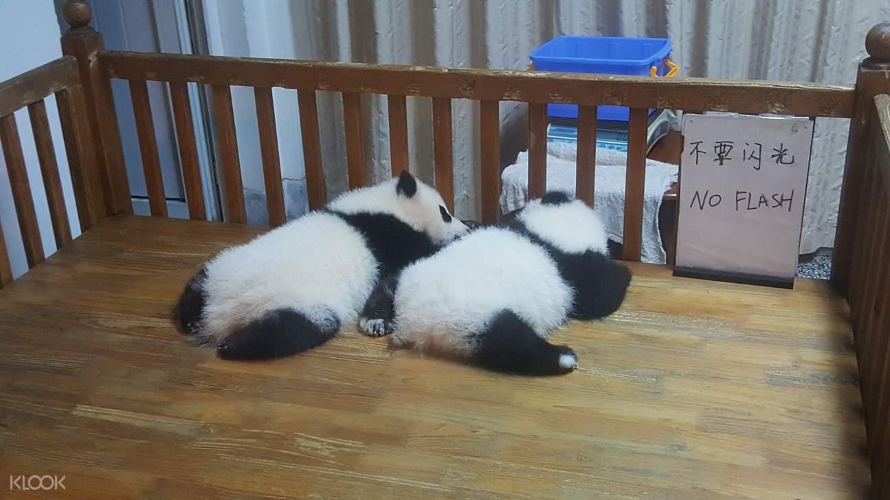 panda cubs in chengdu panda base