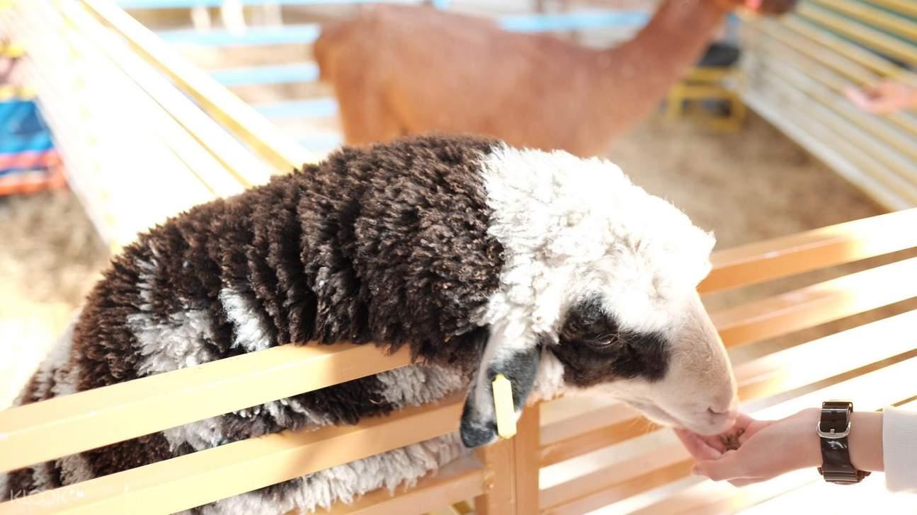 大叻zoodoo動物園咖啡綿羊