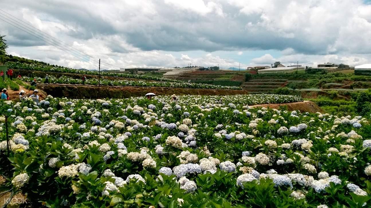 Hydrangea Flower Farm da lat