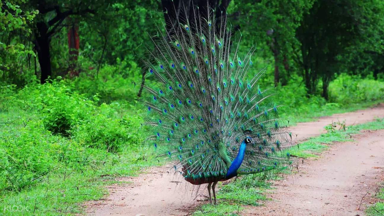 a peacock walking at yala national park