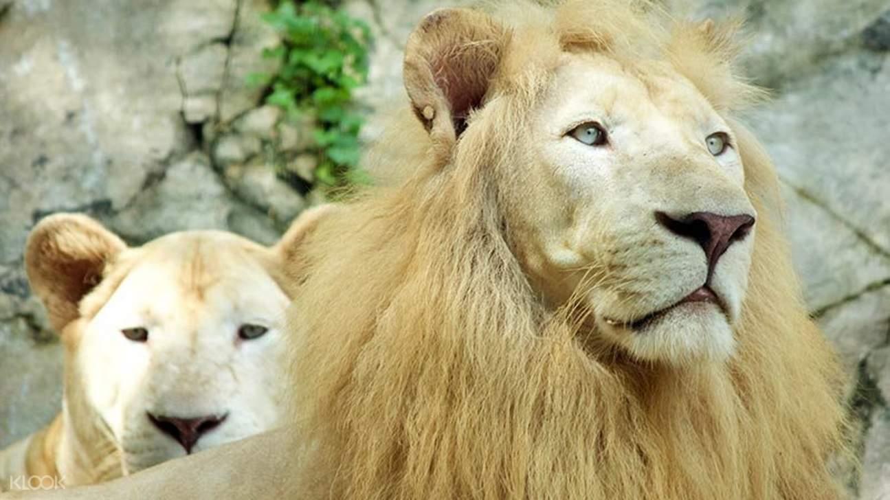 lions in sunway lagoon