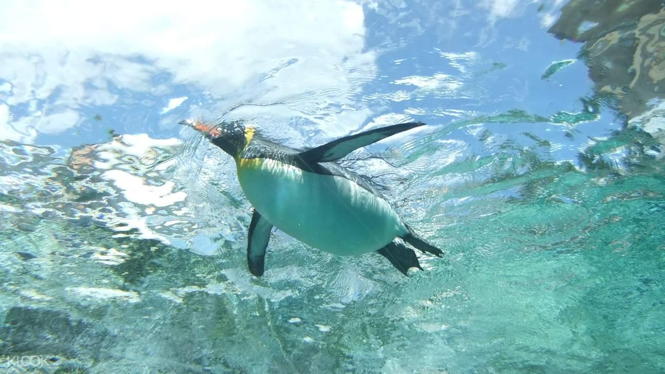 asahiyama zoo penguin