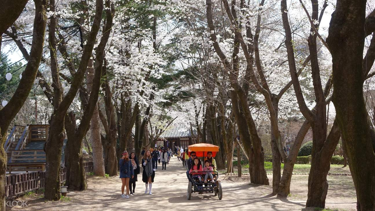 Nami Island's cherry blossom trees