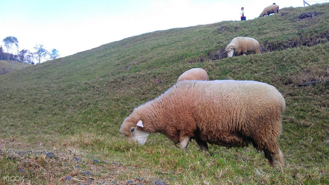 清境農場青青草原, 清境農場小瑞士花園, 清境農場綿羊秀