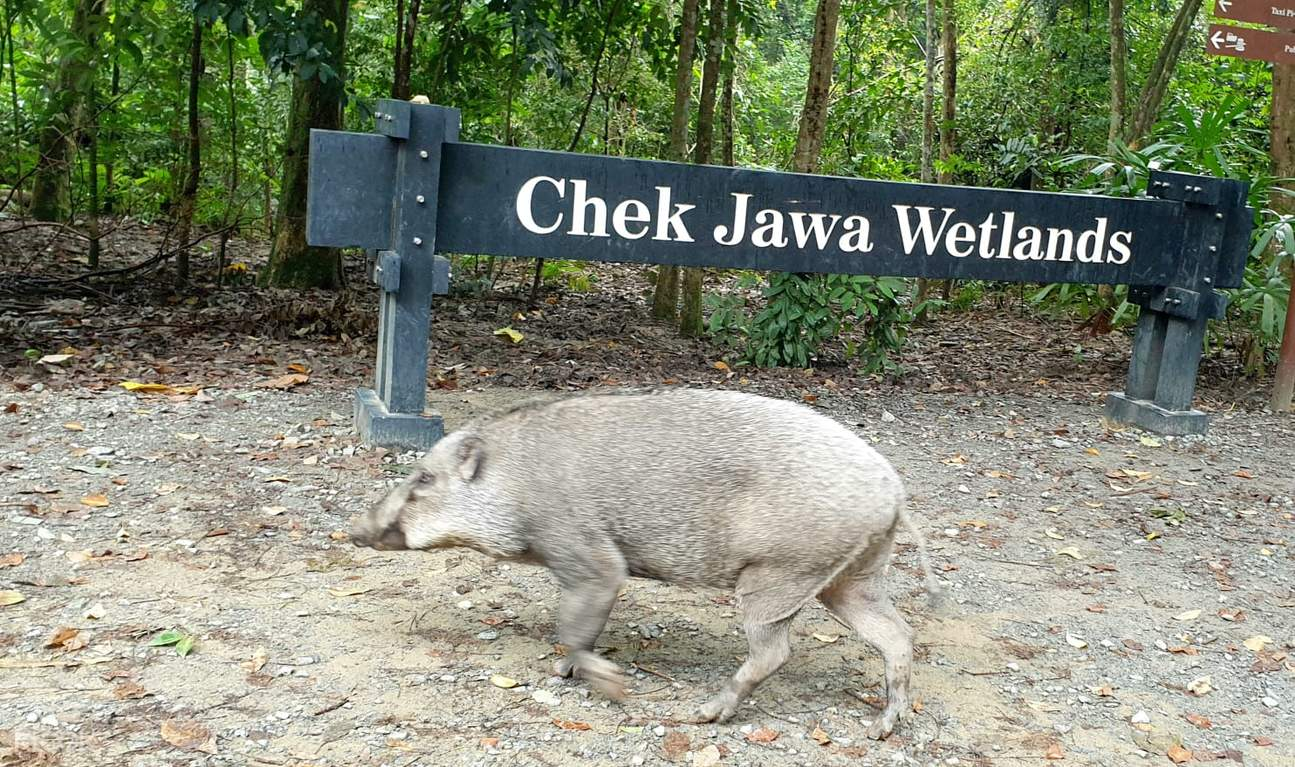 Chek Jawa Wetlands located at the eastern part of the island