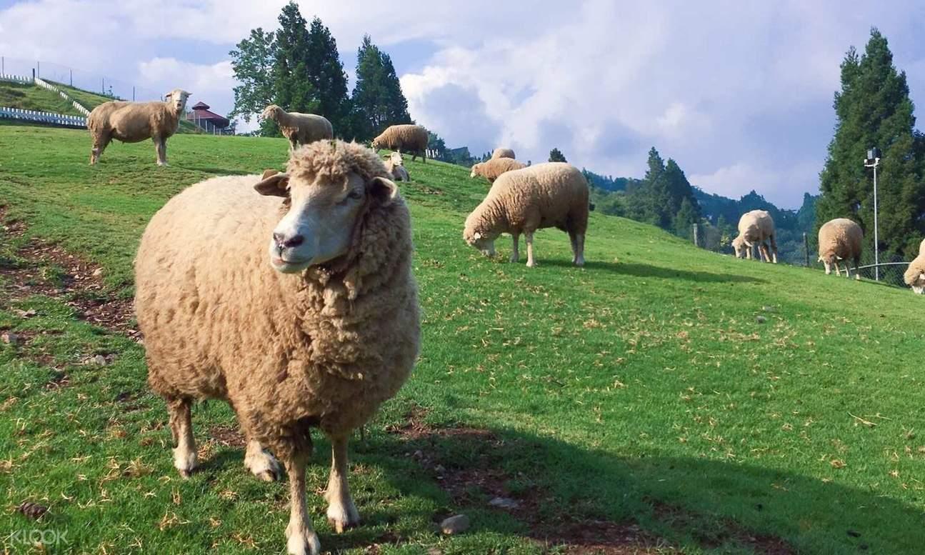 清境農場綿羊
