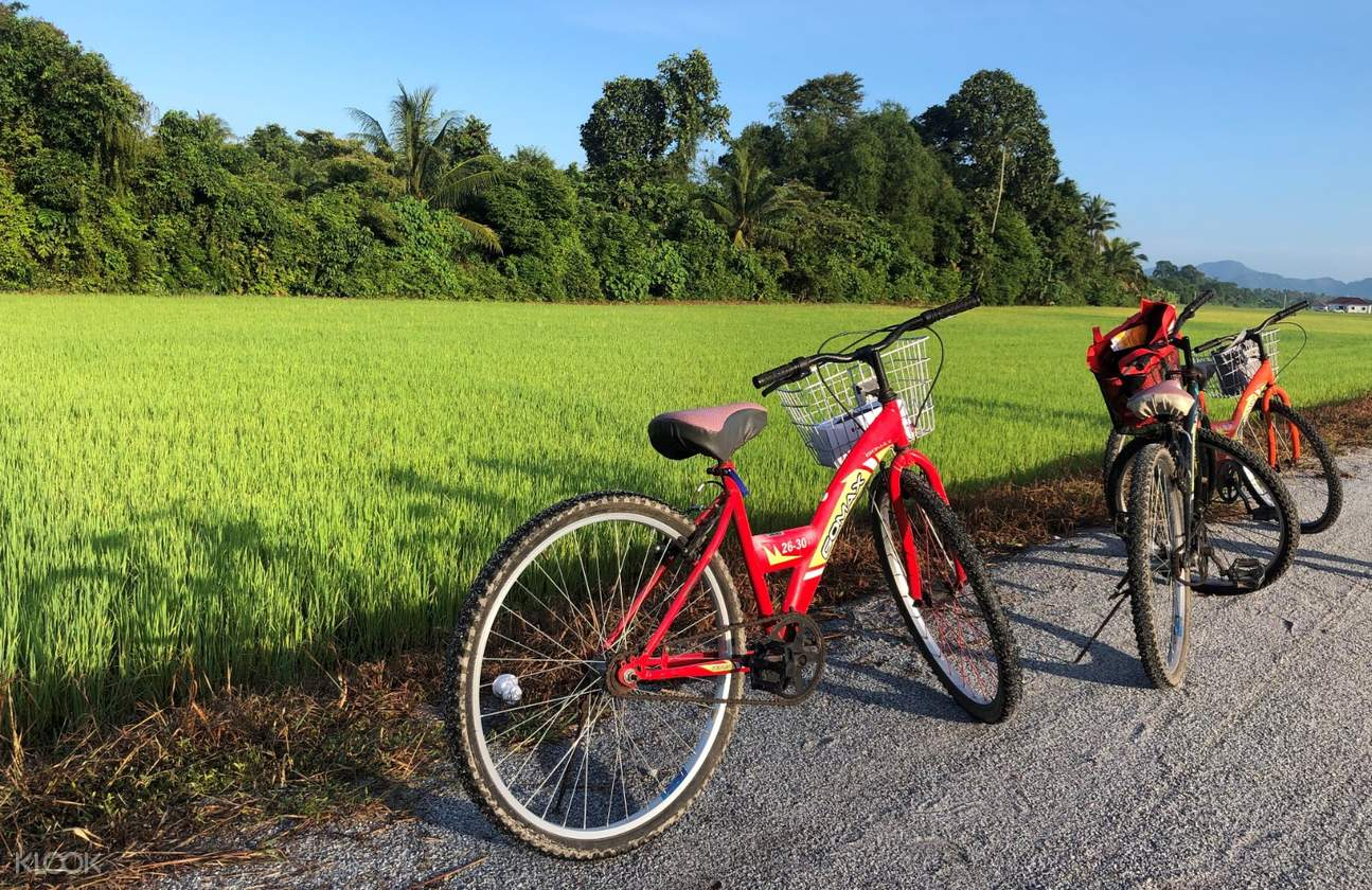 Two bicycles beside the paddy field