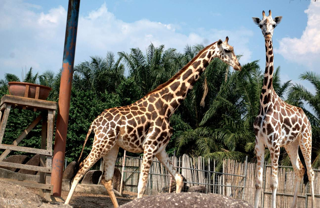 giraffes of A'Famosa Safari Wonderland Melaka
